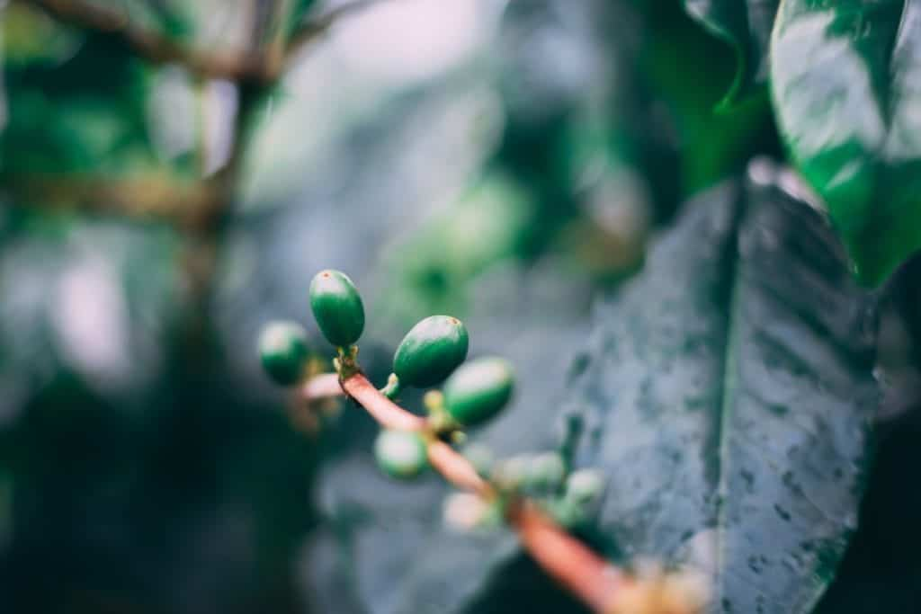 Green Coffee – Harm And Benefits Of Consuming It